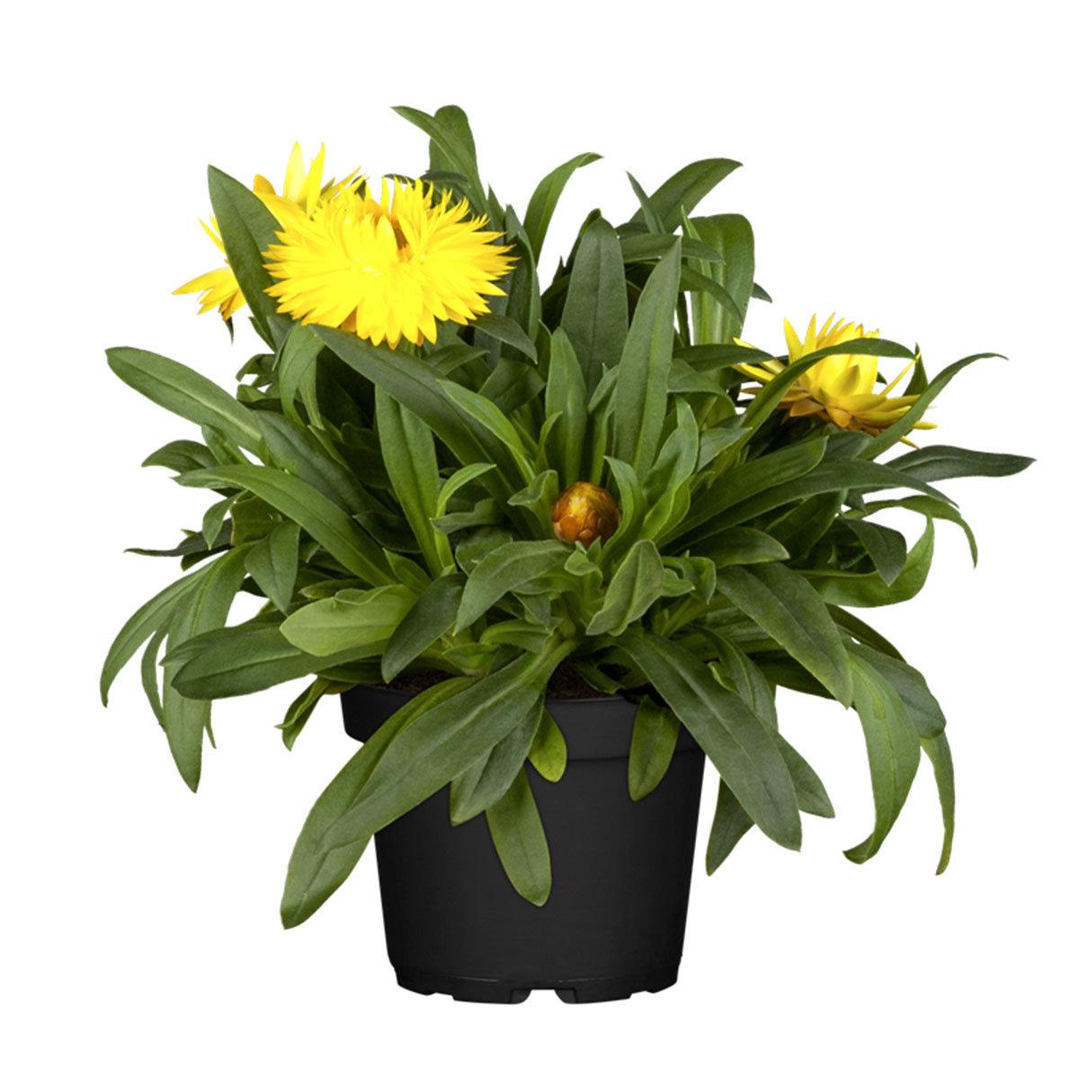 Gelbe Strohblume, im ca. 12 cm Topf | #4