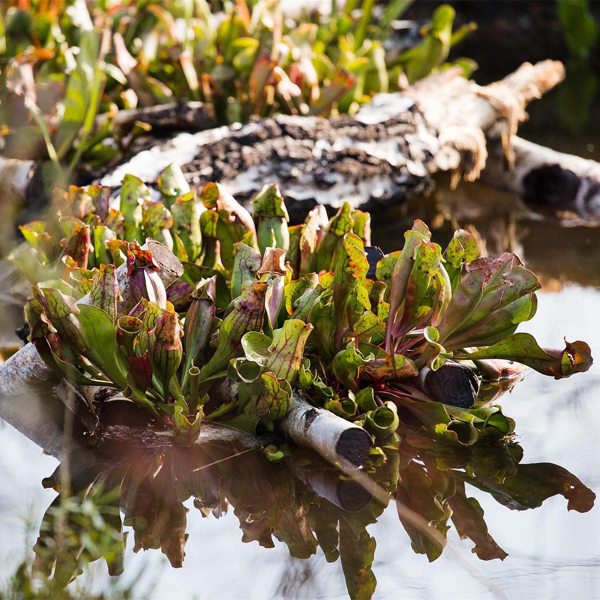 Schlauchpflanze, im ca. 9 cm-Topf | #4