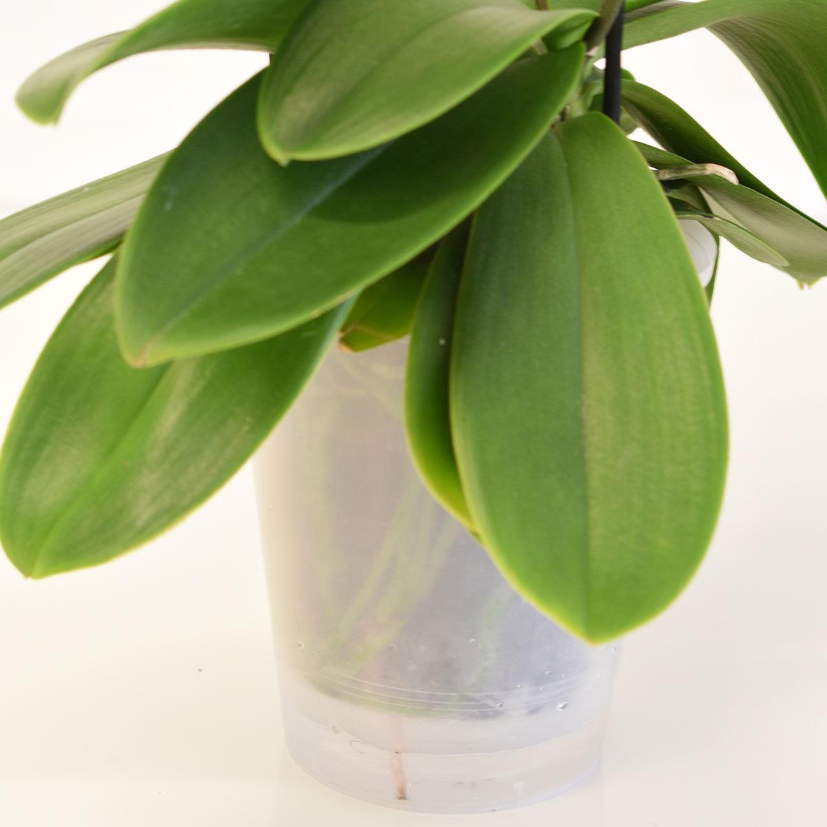 Schmetterlings-Orchidee Sunshine inklusive Über- und Wasserspeichertopf | #4