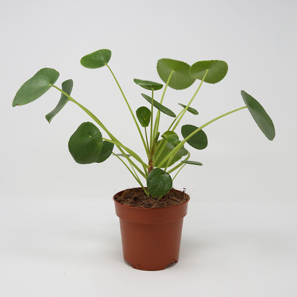 Chinesischer Geldbaum, im ca. 12 cm-Topf | #4