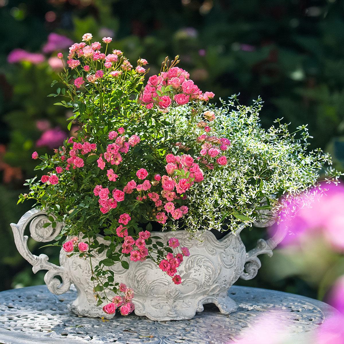 Mini-Rose Lilly Rose™, im ca. 17 cm-Topf | #4