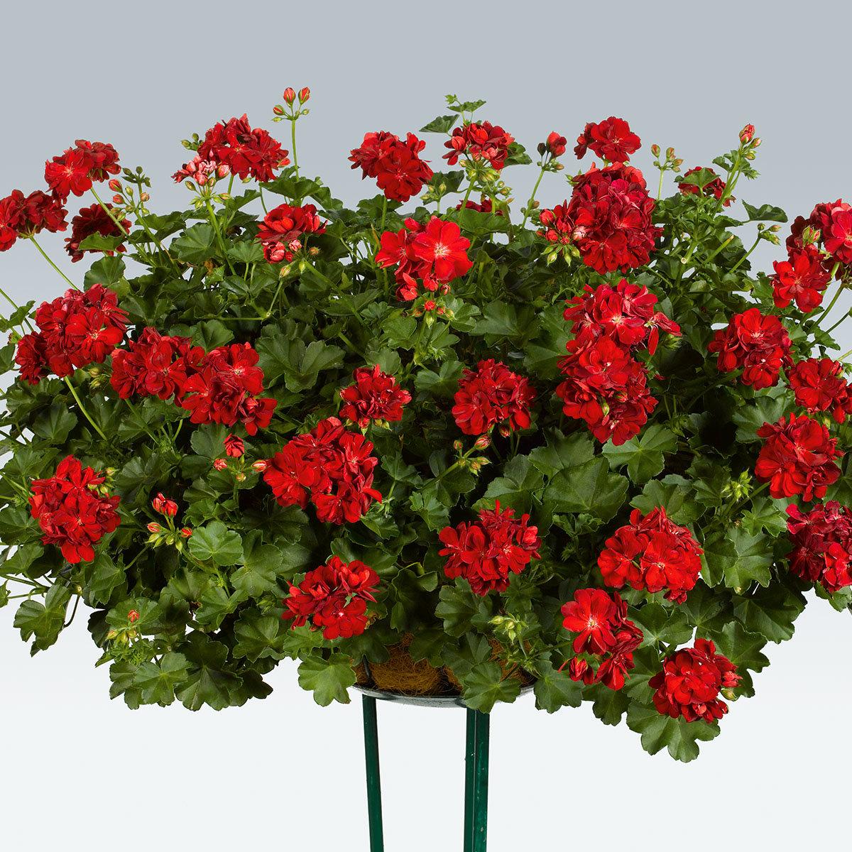 Dunkelrote Hänge-Geranie Royal Dark Red, im ca. 12 cm-Topf | #4