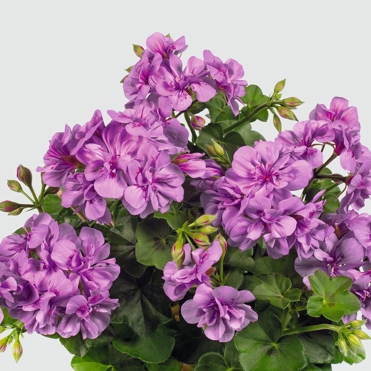 Violette Hänge-Geranie  Amelit, im ca. 12 cm-Topf | #4