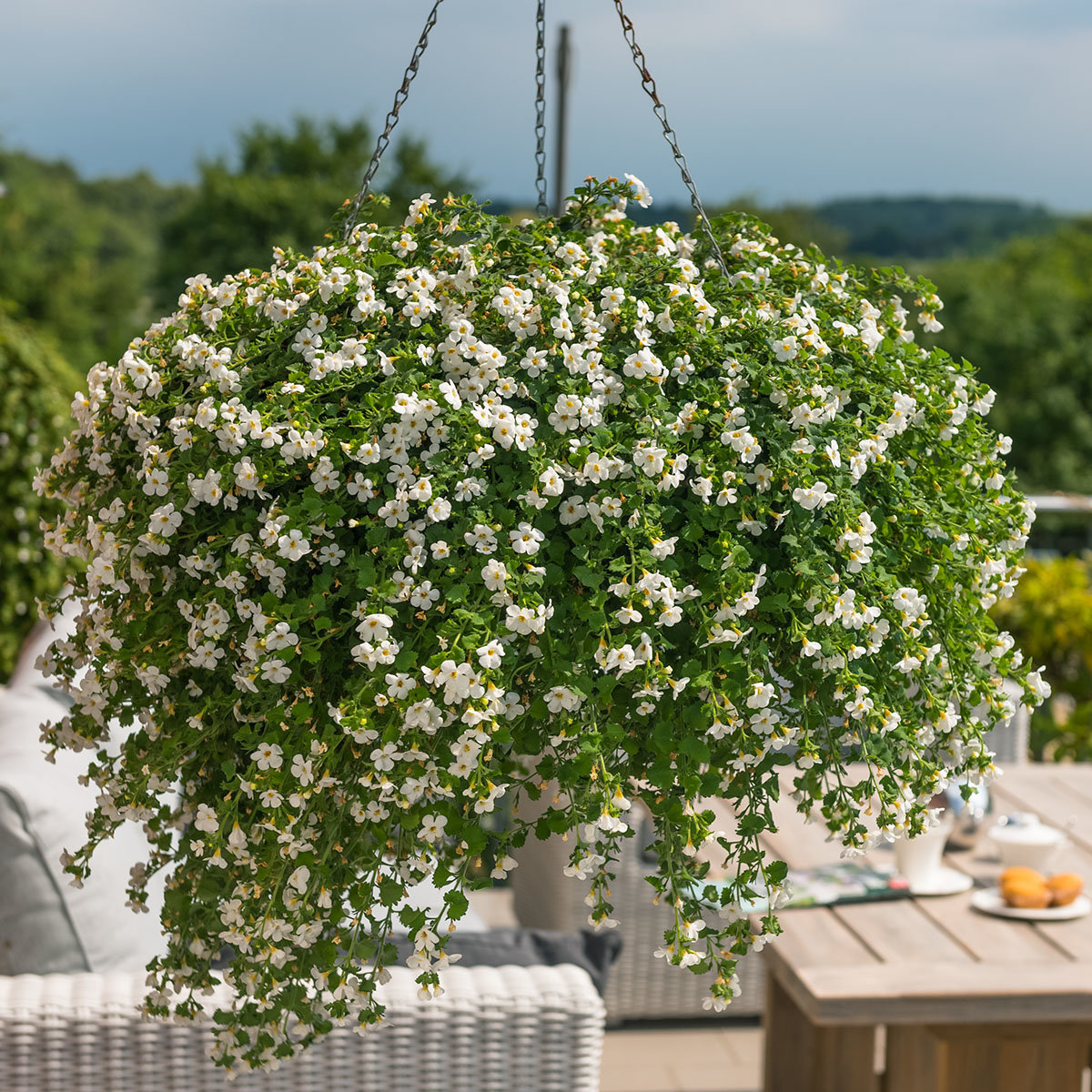 Weiße Schneeflockenblume, im ca. 11 cm-Topf | #4