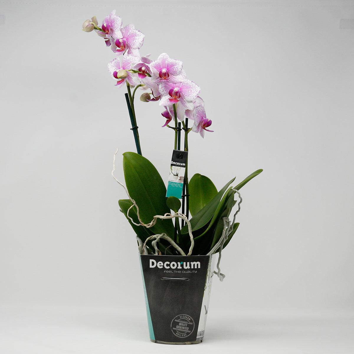 Schmetterlings-Orchidee Rotterdam, im ca. 12 cm-Topf   #4