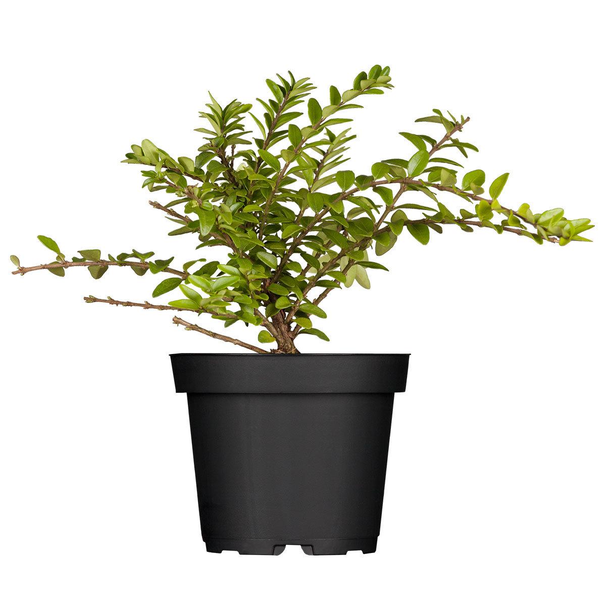 Heckenmyrte Maigrün, im ca. 9 cm-Topf | #4