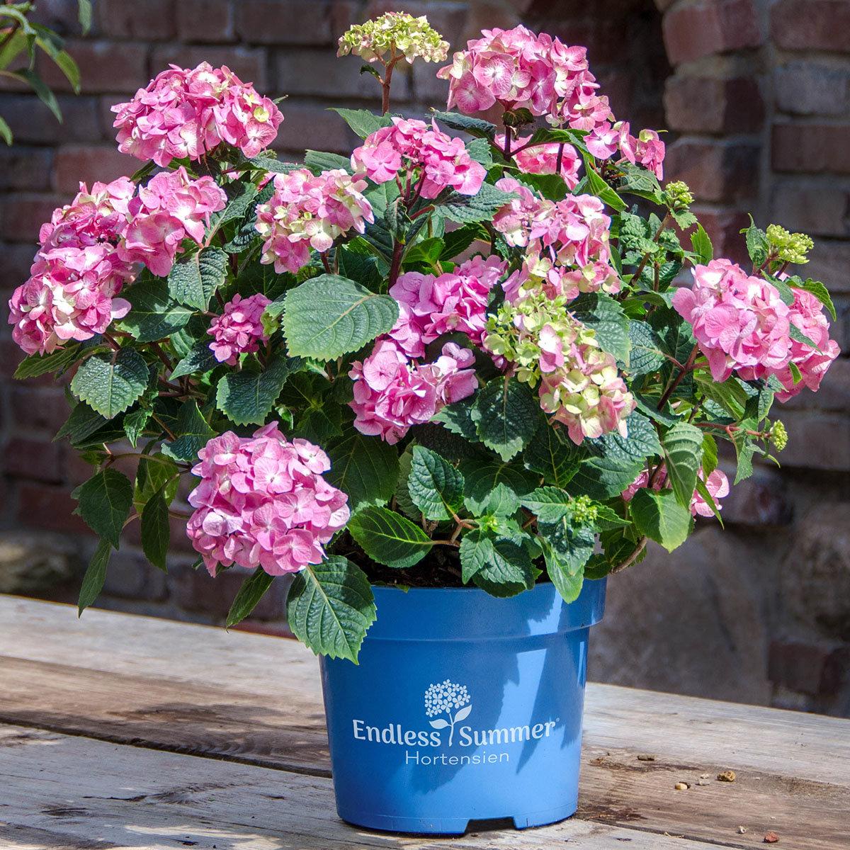 Hortensie Endless Summer® The Original, rosa, im ca. 23 cm-Topf   #4