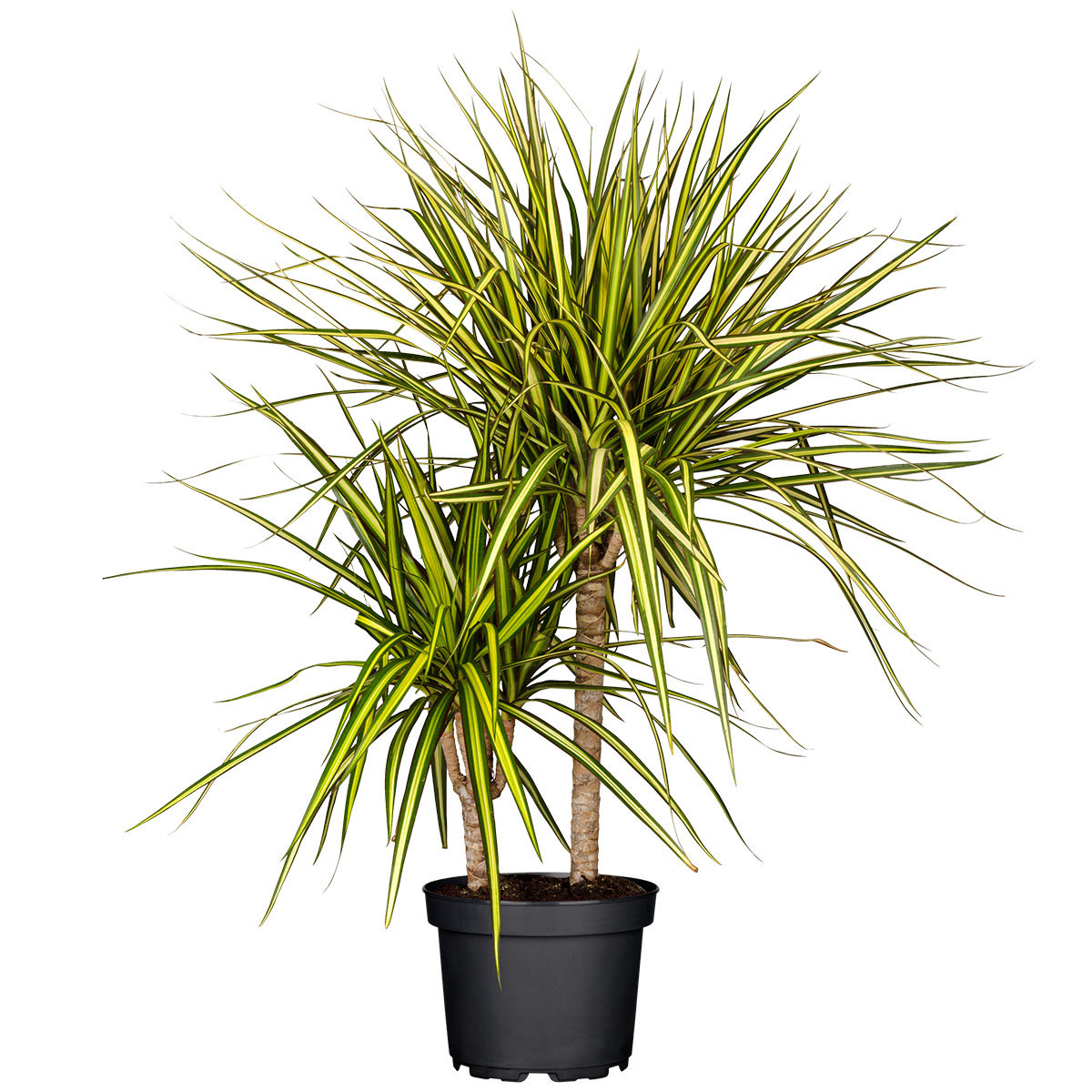 Drachenbaum Sunray, 2er Tuff, im ca. 17 cm-Topf | #4