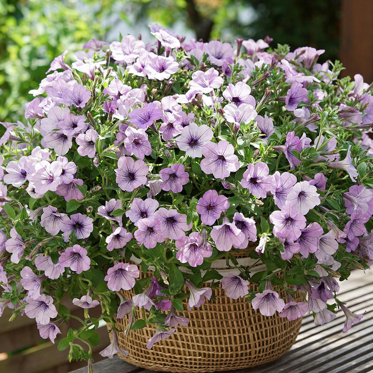Petunie Lavender Sky®, im ca. 12 cm-Topf | #4
