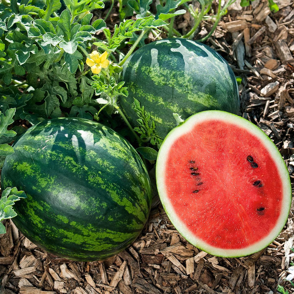Mini-Wassermelonenpflanze Mini Love, veredelt, im ca. 12 cm-Topf | #4