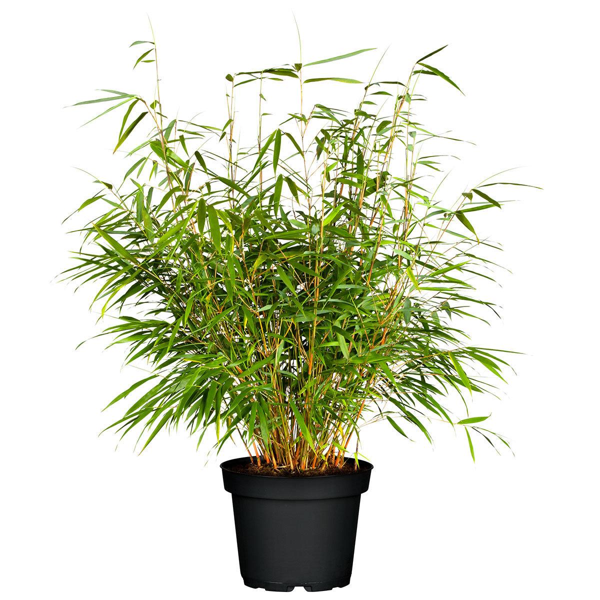 Bambus Asian Wonder, im ca. 23 cm-Topf   #4