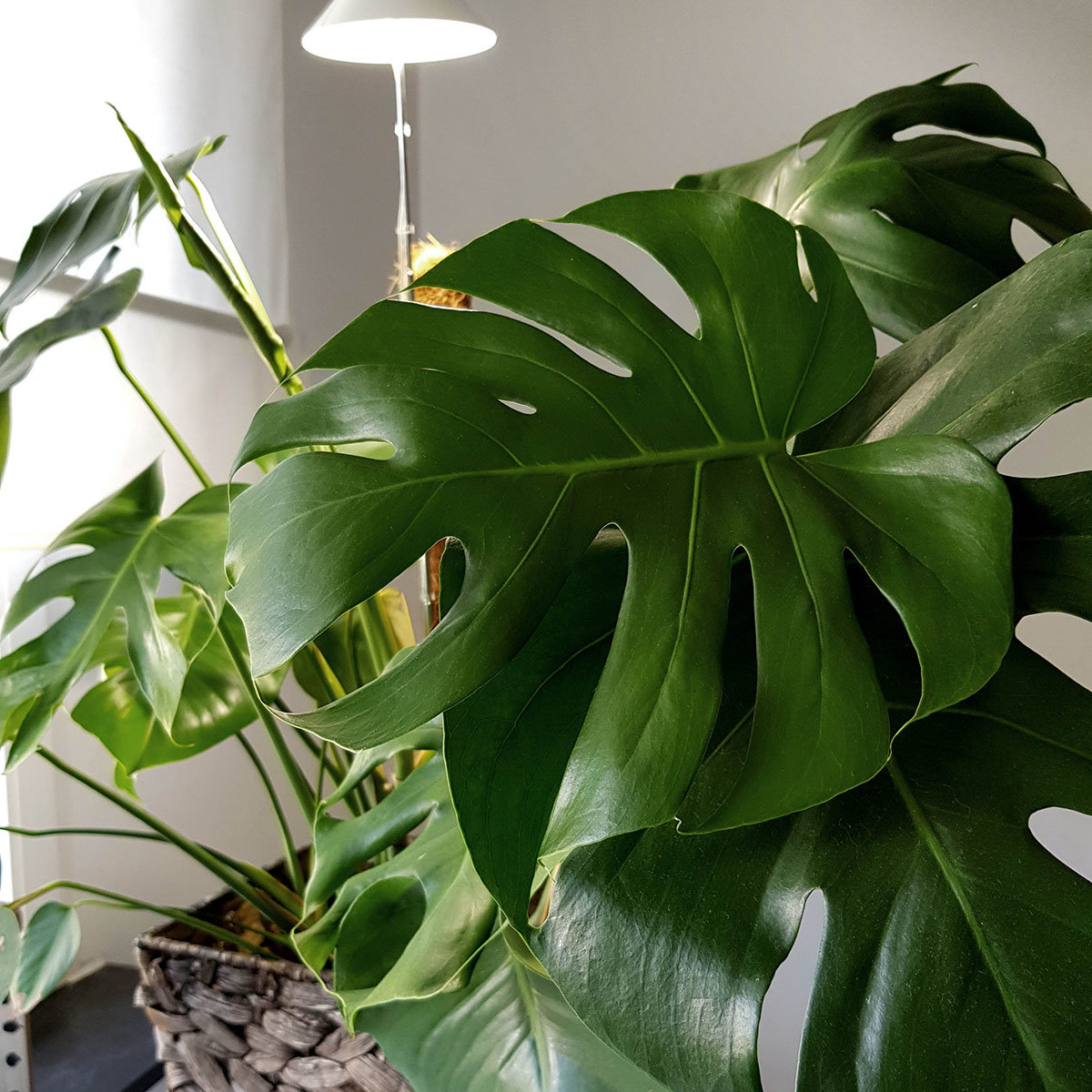 Sunlite Pflanzenlampe, 7 W, 28-100 cm, Ø 11, Kabel 4 m,Aluminium, weiß | #4