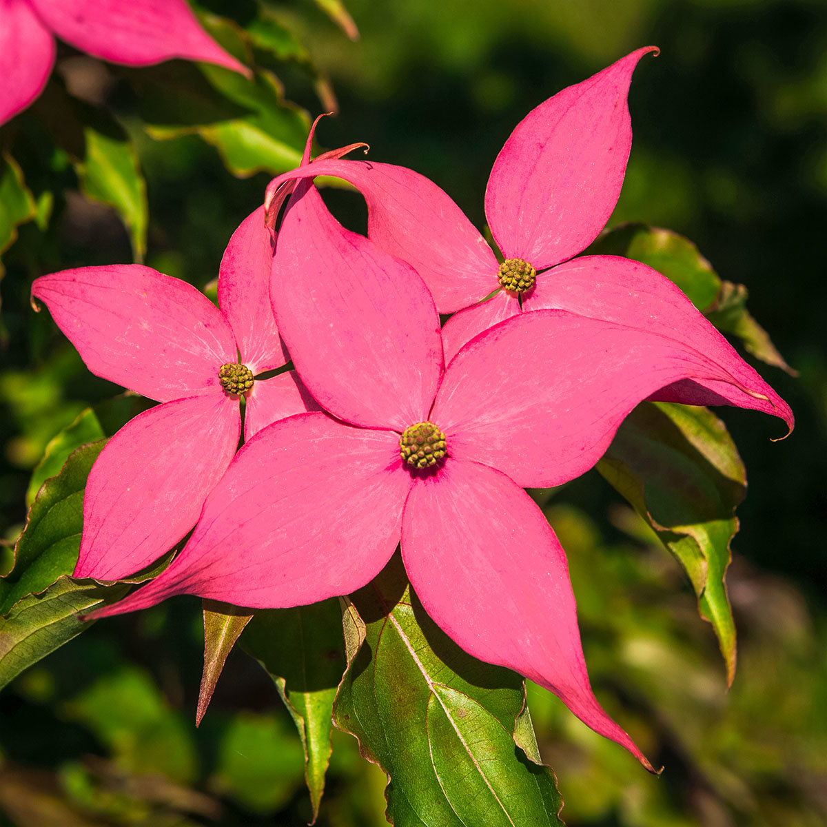 Blumenhartriegel Scarlet Fire®, im ca. 23 cm-Topf | #4