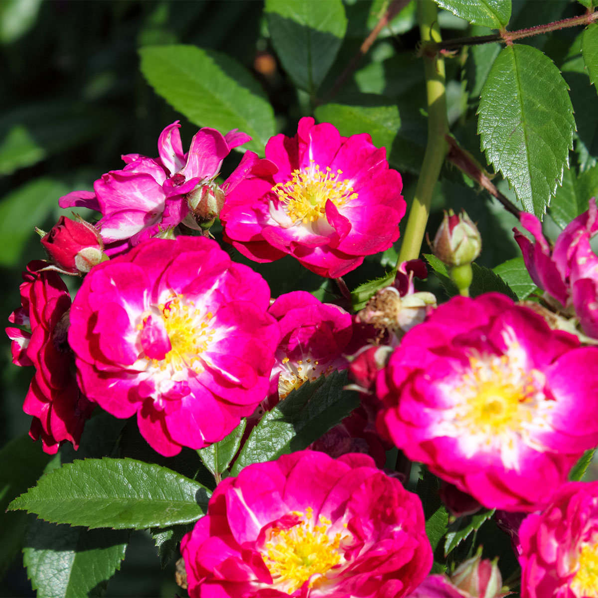 Kletterrose, lila, im ca. 24  cm-Topf | #4