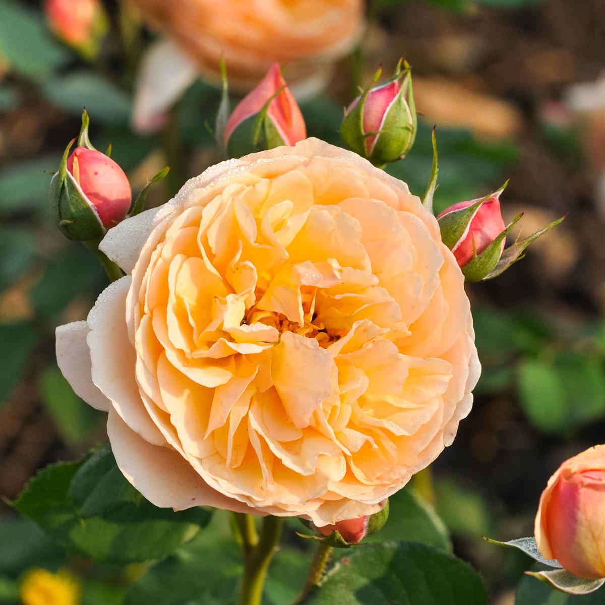 Essbare Culinaric Rose, orange-rosé, im ca. 22 cm-Topf | #4