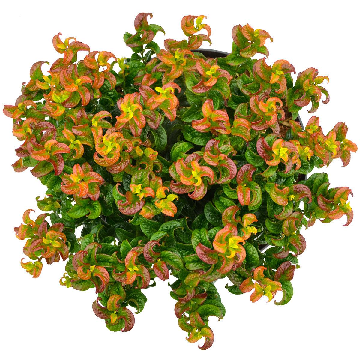 Lavendelheide, rot, im ca. 24 cm-Topf | #4