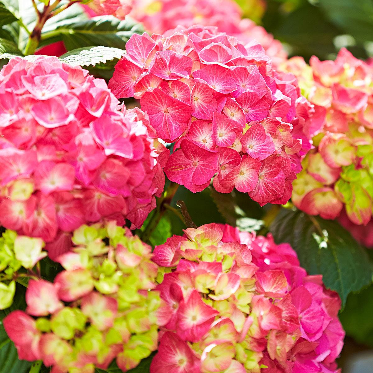 Hortensie Diva fiore®, rosa, im ca. 22 cm-Topf   #4