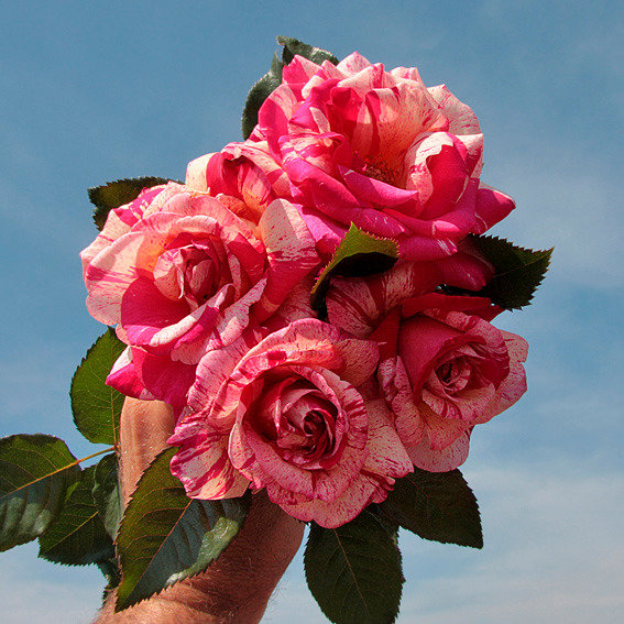 Rose Broceliande® | #4