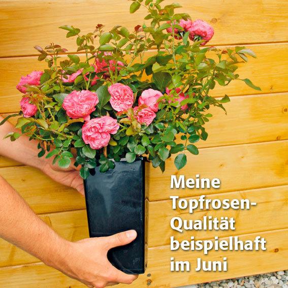 Rose Gärtner Pötschkes Orange Eyeconic®, im 3-Liter-Topf | #4