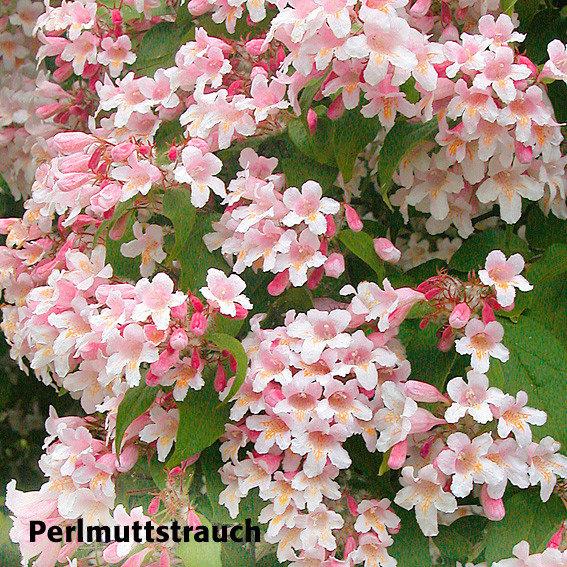 Gärtner Pötschkes Blütenhecke, 5 Pflanzen | #4