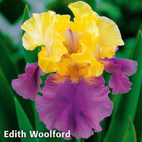Sortiment Regenbogen-Iris, 3 Pflanzen | #4