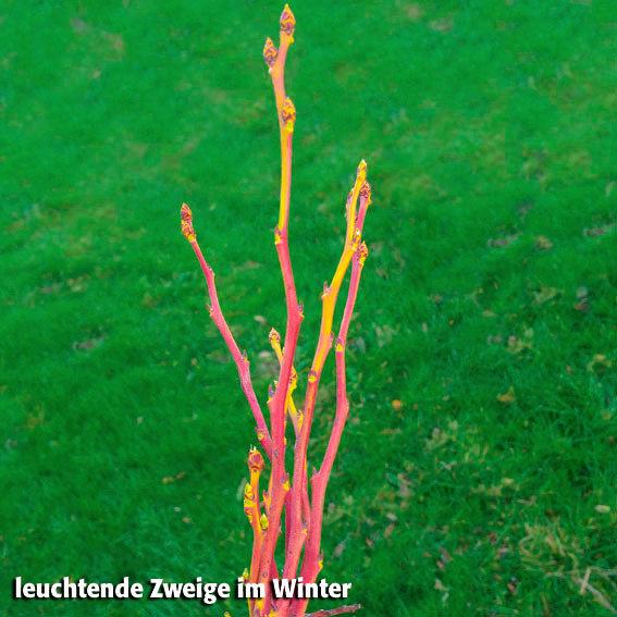 Heidelbeere Pink Lemonade | #4