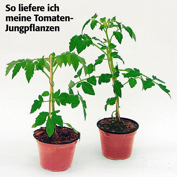 Tomatenpflanze Rubin Pearl F1, veredelt   #4