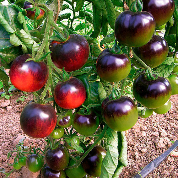 Saatgut-Holzbox Gemüseraritäten, 8 Saatgut-Sorten   #5