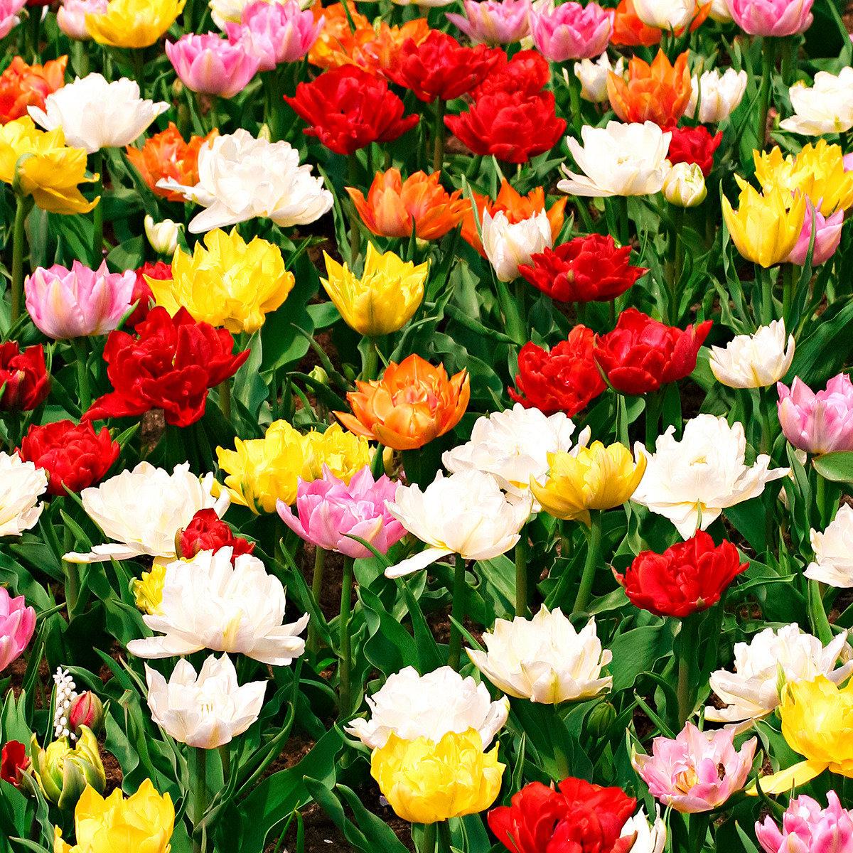 Tulpen frühblühende Murillo-Mischung, gefüllt | #5