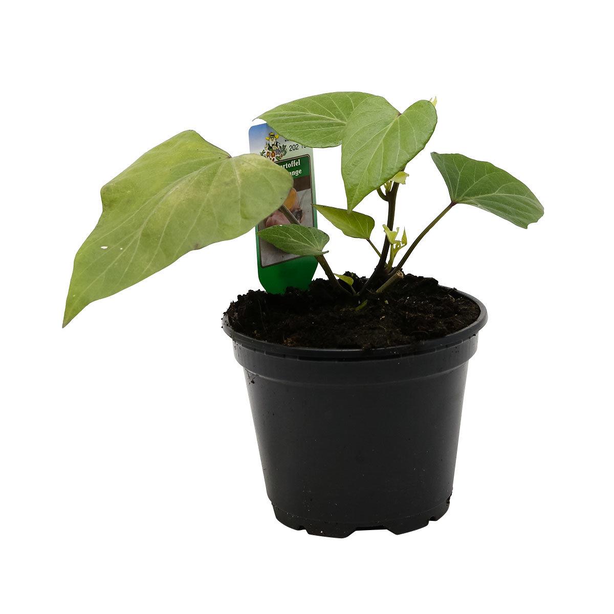 Süßkartoffelpflanze Erato Orange, im ca. 13 cm-Topf   #5