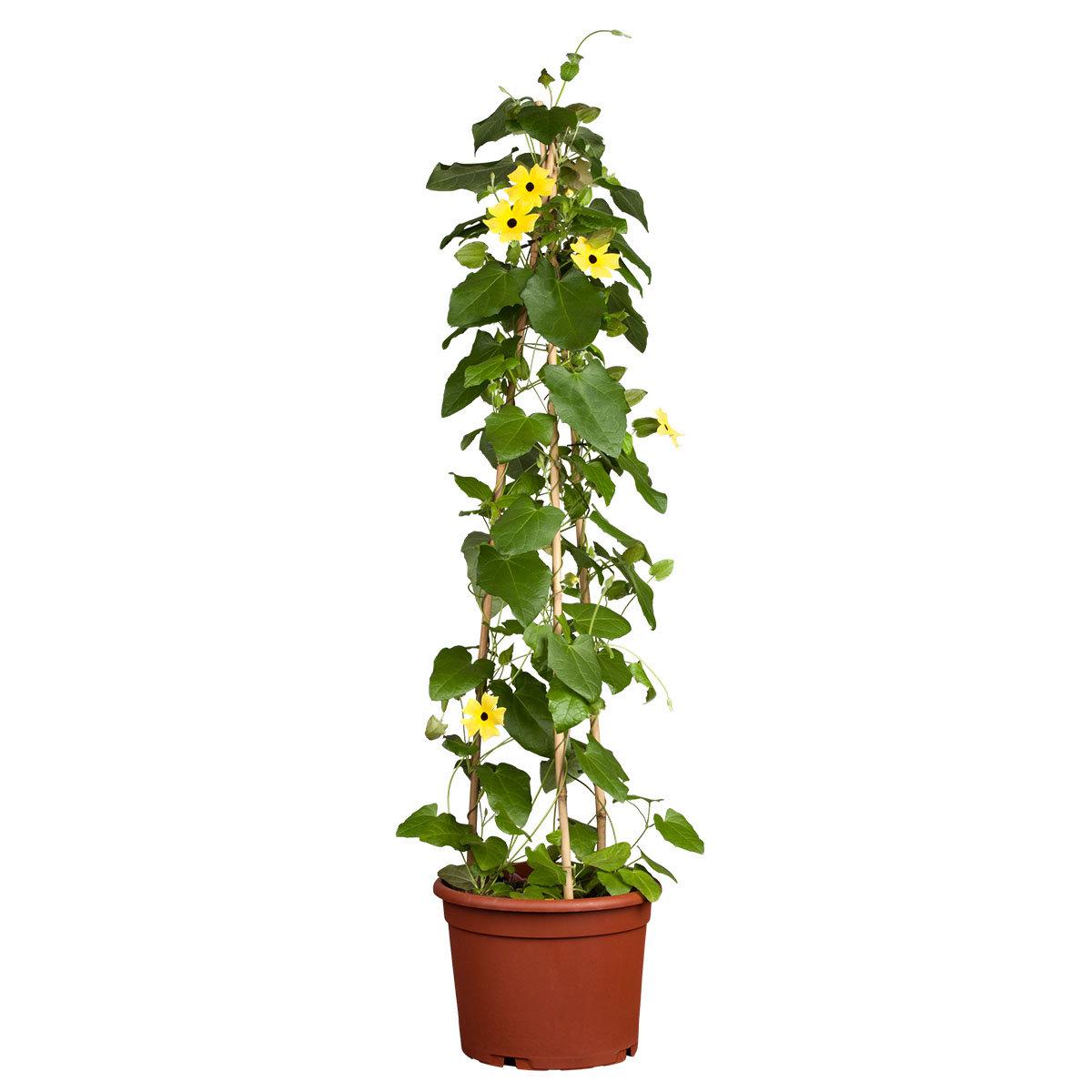 Schwarzäugige Susanne, gelb ca. 17 cm-Topf | #5