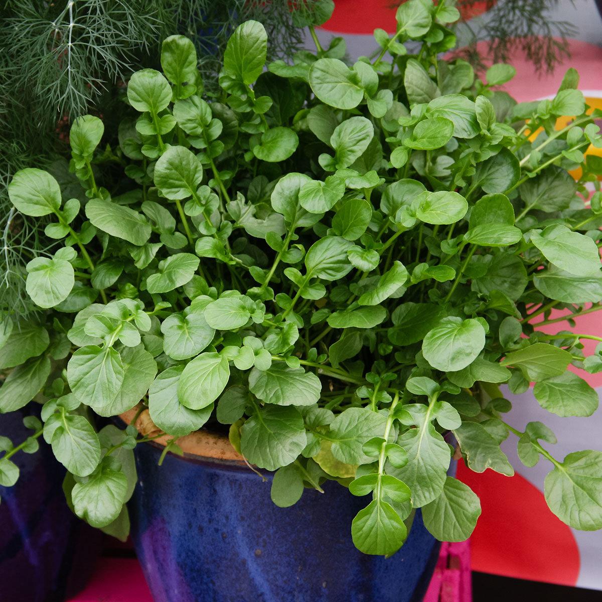 Landkressesamen Simply Salad Cress, Multi-Pellets | #5