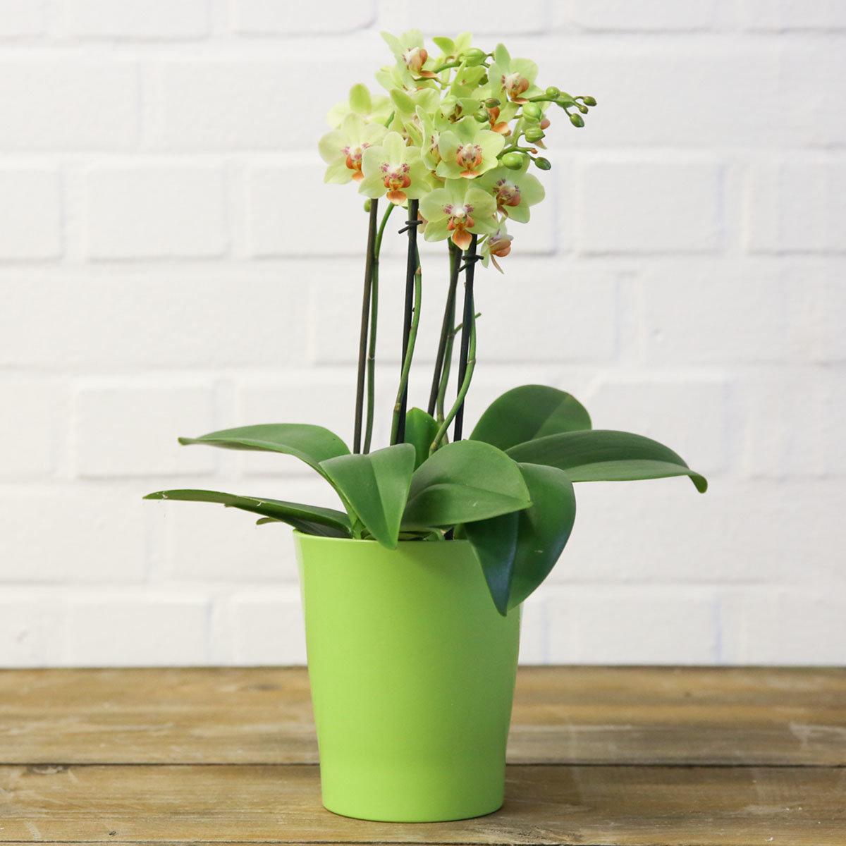 Schmetterlings-Orchidee Sunshine   #5
