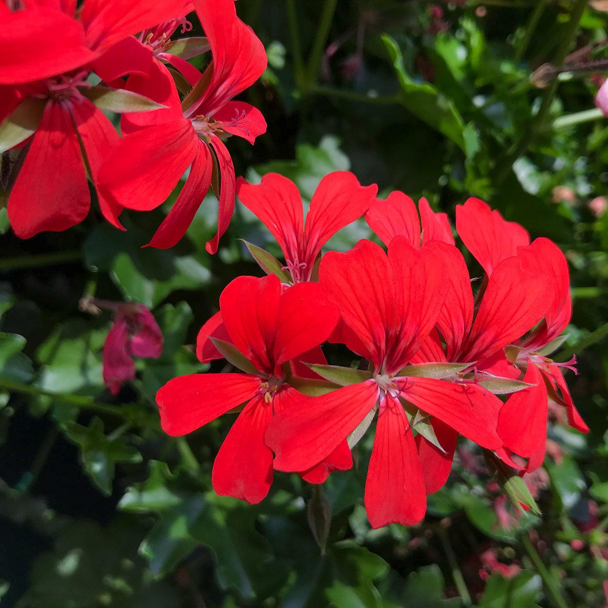 Sommerblumen-Set Hänge-Geranien, 6 Stück, im ca. 12 cm-Topf | #5