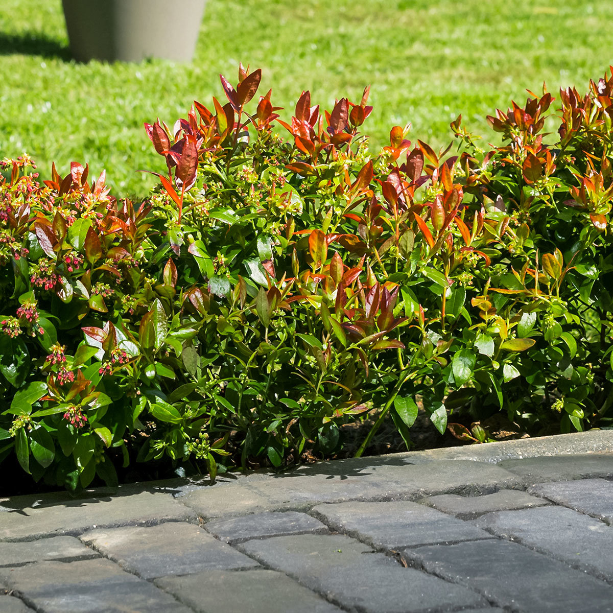 Heidelbeere BrazelBerry® Berry Bux® - Laufender Meter, 6 Pflanzen, im ca. 11 cm-Topf | #5
