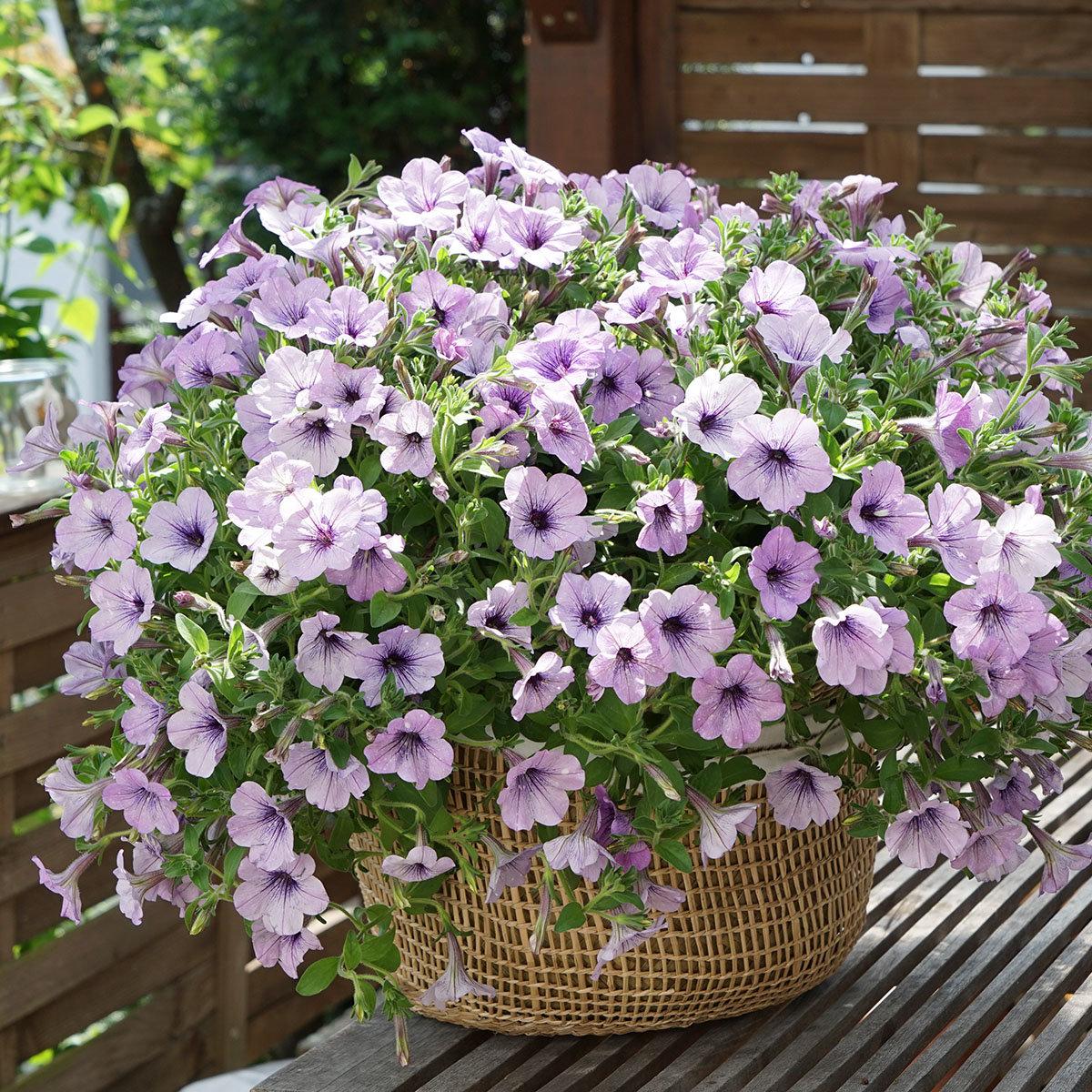 Petunie Lavender Sky®, im ca. 12 cm-Topf | #5