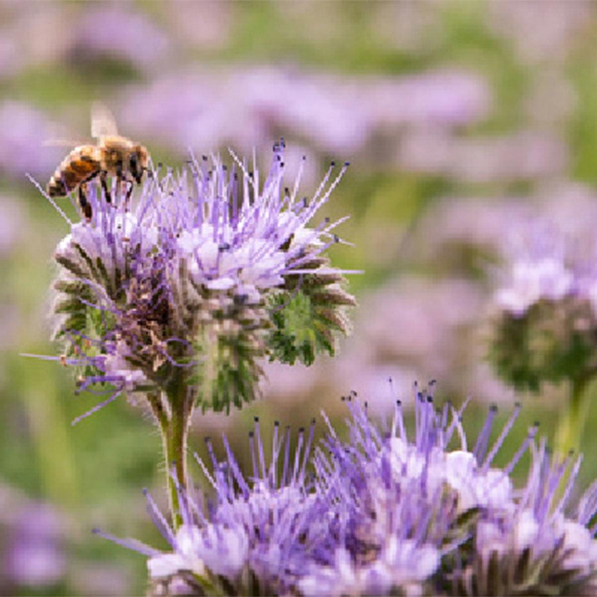 Saatgut-Holzbox Bienenparadies, 8 Saatgut-Sorten | #5