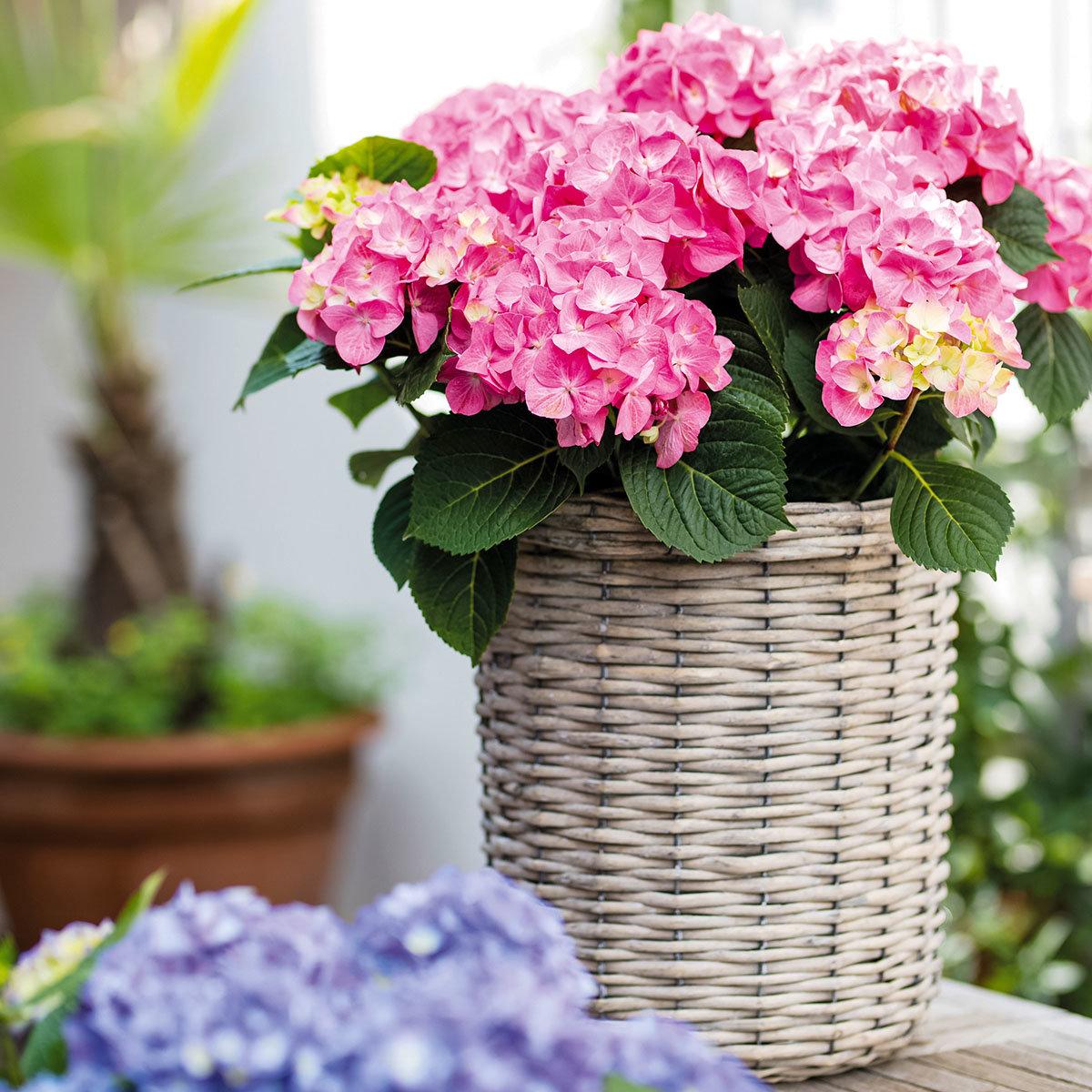 Hortensie Diva fiore®, rosa, im ca. 22 cm-Topf   #5
