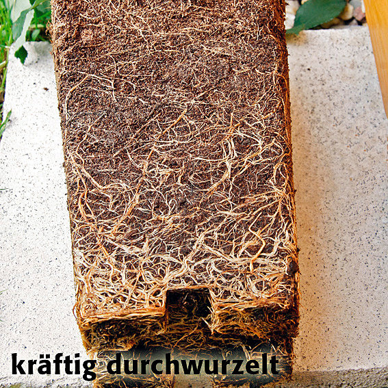 Rose Gärtner Pötschke Orange Eyeconic® | #5