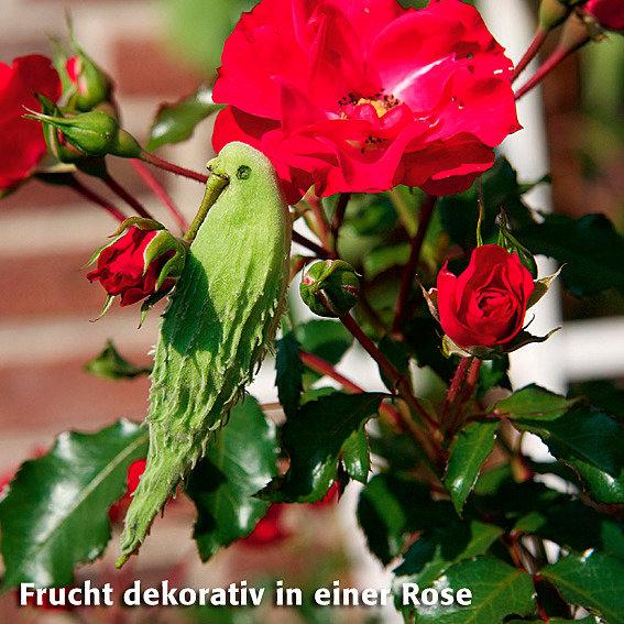 Papageien-Blume | #5