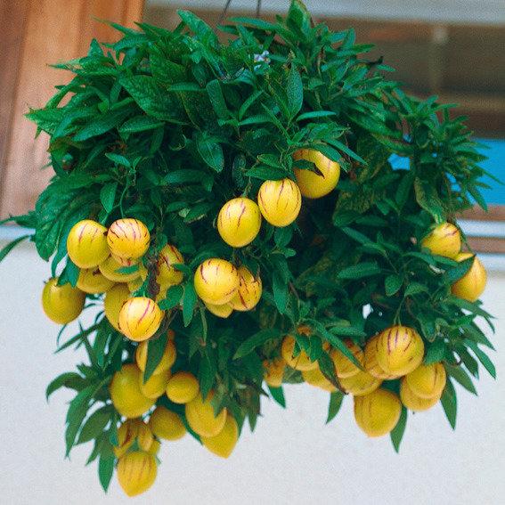 Birnenmelonenpflanze Pepino, im ca. 13 cm-Topf | #5