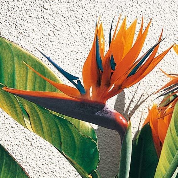 Paradiesvogelblume Strelizie, im ca. 15 cm-Topf | #5