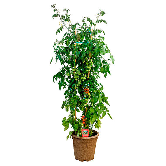 Tomatenpflanze Tomaccio | #5