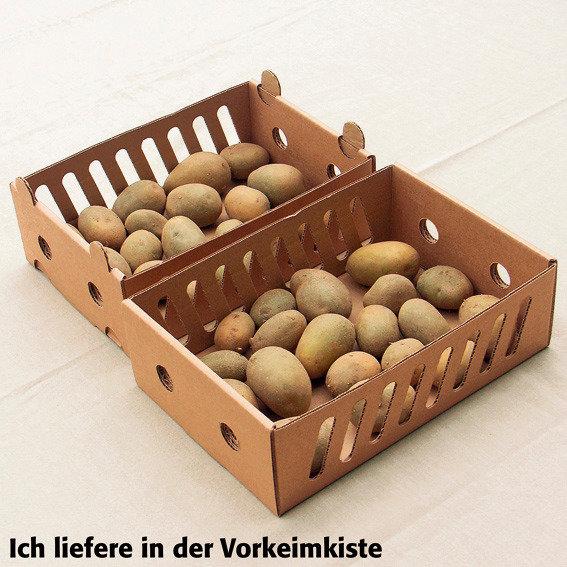 Kartoffel Glorietta, 2,5 kg inkl. Vorkeimkiste | #5