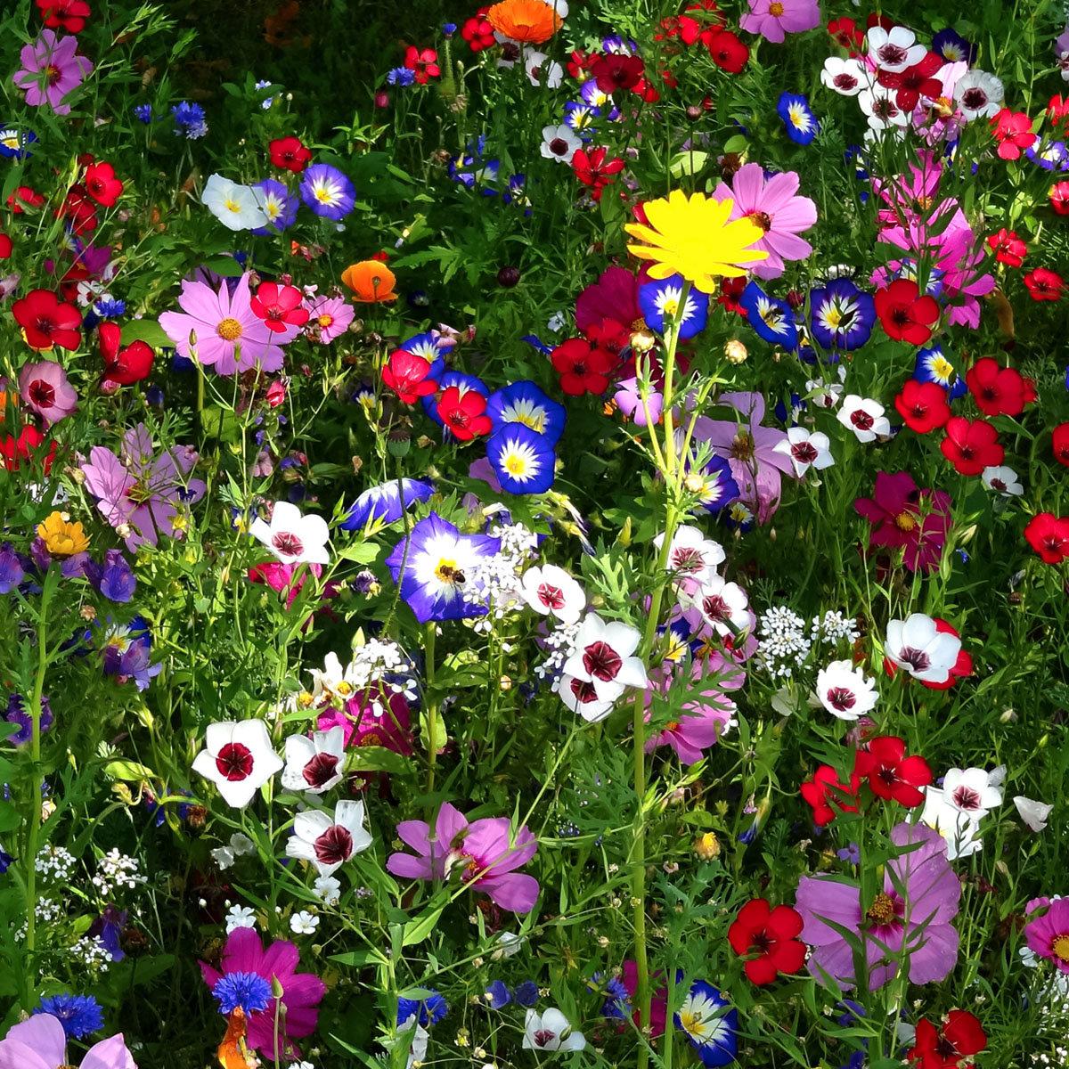 Blumensamen-Mischung Original Mössinger Sommer für 3 qm | #6