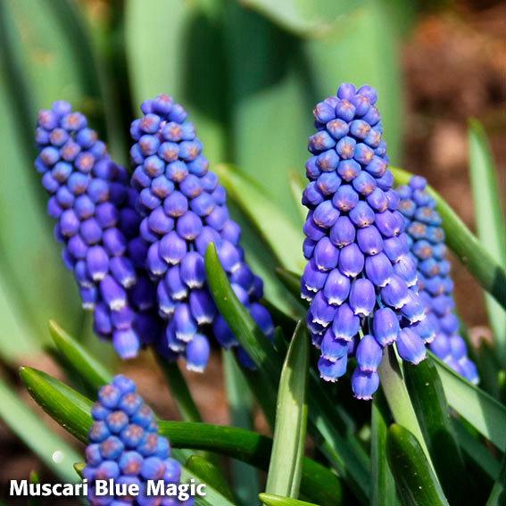 Blumenzwiebel-Mischung Bunte Frühlingswiese | #6
