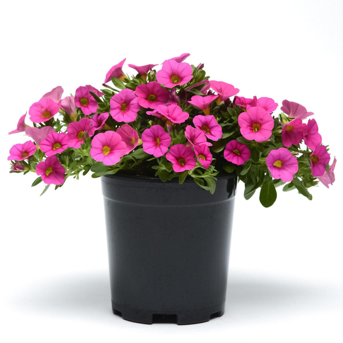 Calibrachoa-Petuniensamen Kabloom Deep Pink F1, Pillensaat | #6