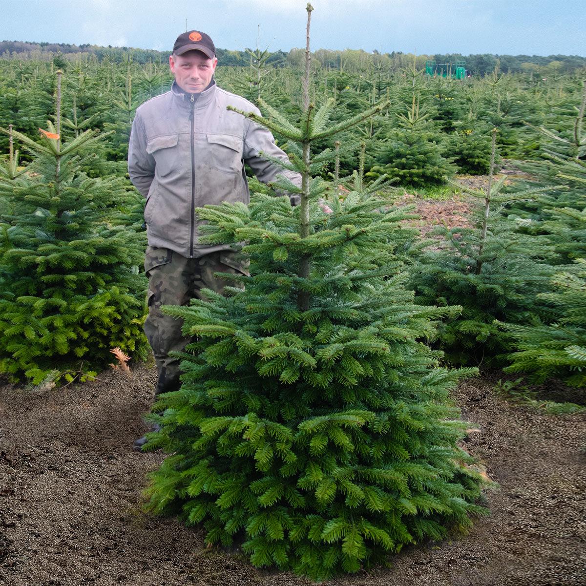 Weihnachtsbaum Nordmanntanne 60-80 cm mit Holzkreuz-Ständer | #6