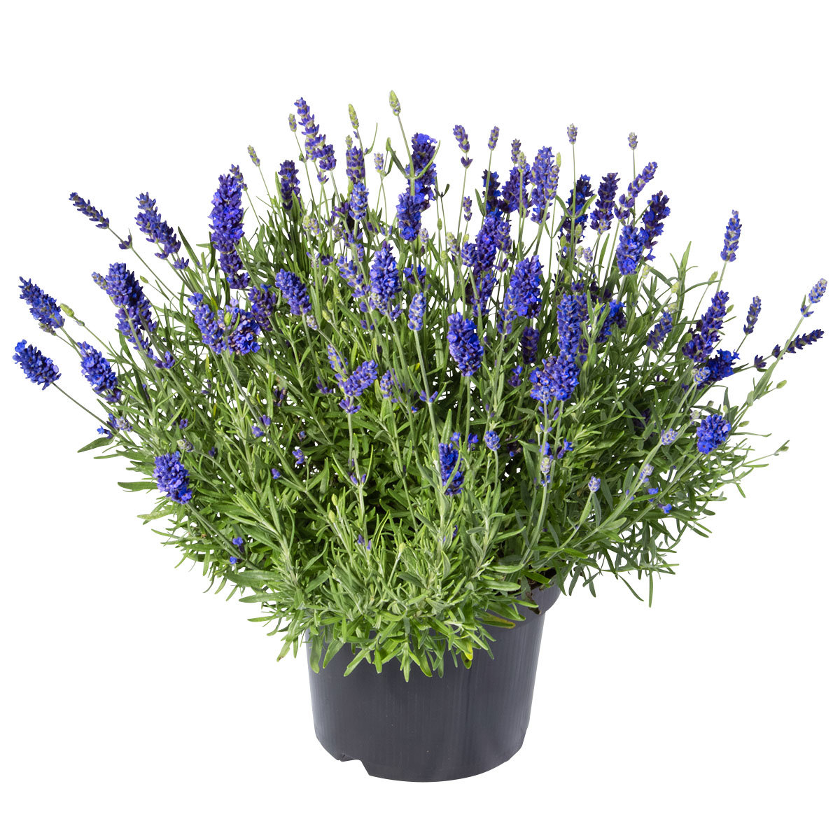 Lavendel Essence Purple, im ca. 19 cm-Topf | #6