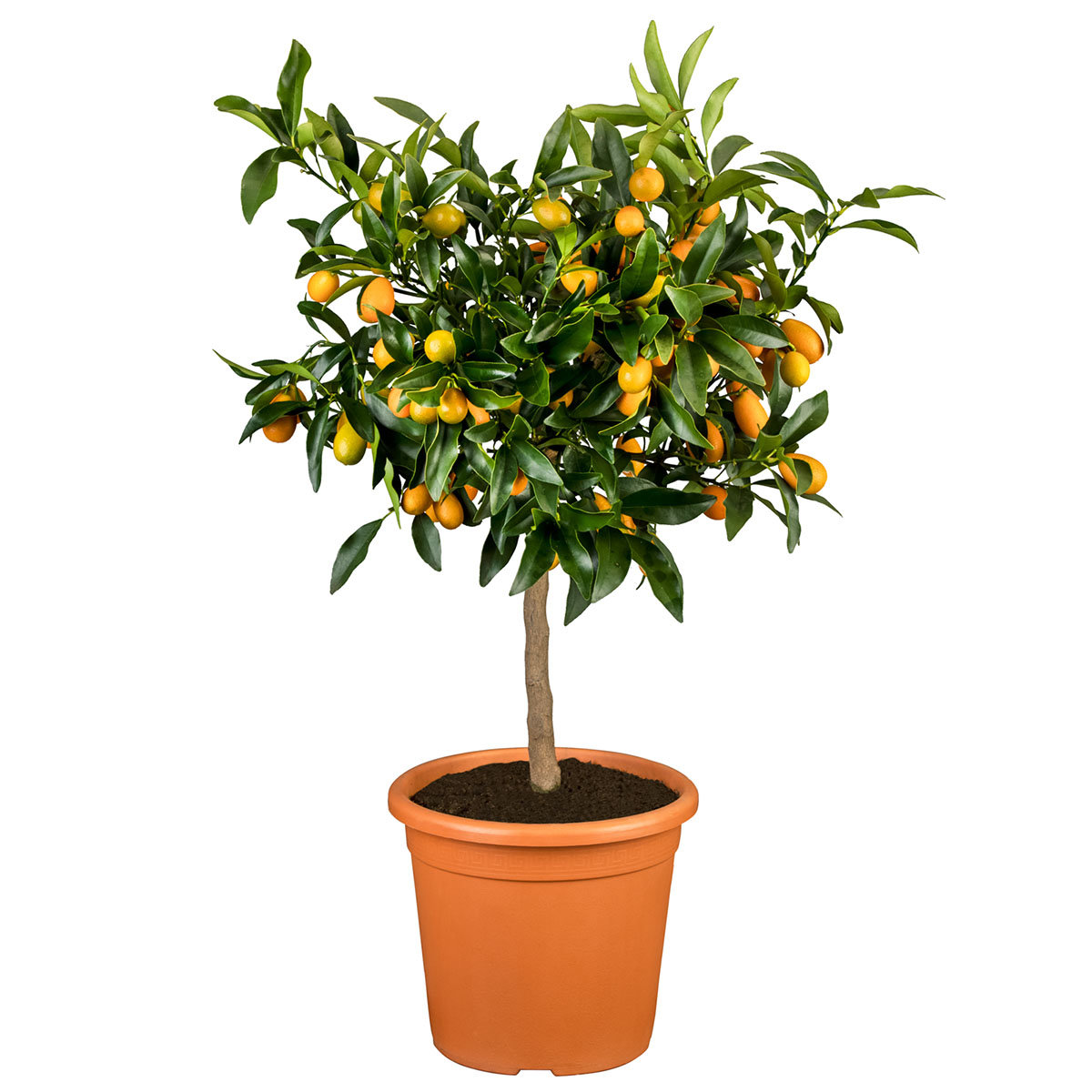 Calamondin-Orangen-Stamm, im ca. 18 cm-Topf | #6